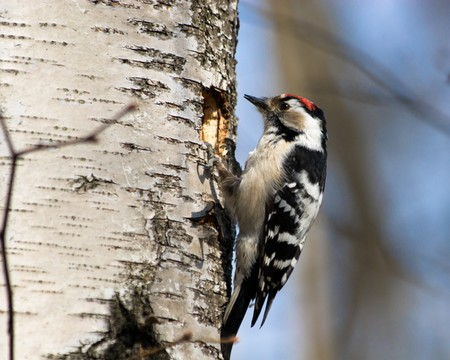 dendrocopos: The  Lesser Spotted Woodpecker (Dendrocopos minor) is in the wild nature.