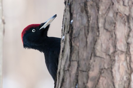 The Black woodpecker (Dryocopus martius) is in the park.