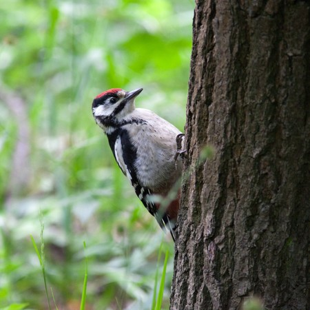 Great spotted woodpecker (Dendrocopos major) in the Park. Young bird photo