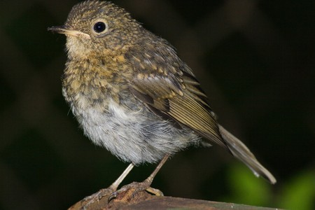 rubecula: Just fledged bird on its first flight out of the nest. Erithacus rubecula, Robin Stock Photo