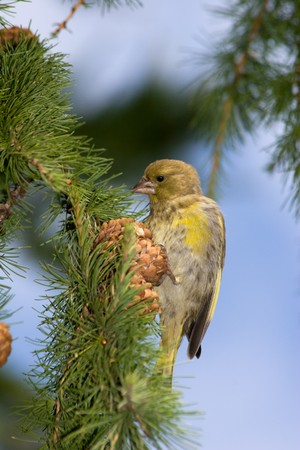 The Greenfinch (Carduelis chloris) in the wild nature. Wild bird. photo