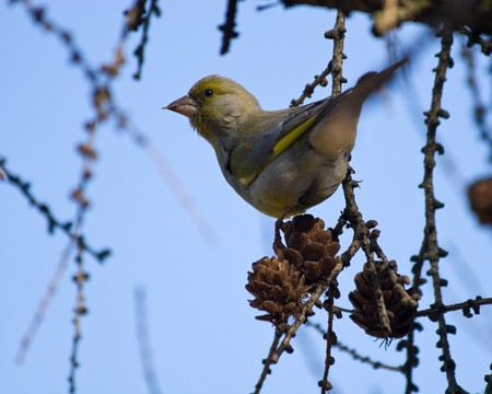 greenfinch: The Greenfinch (Carduelis chloris) in the wild nature. Wild bird.