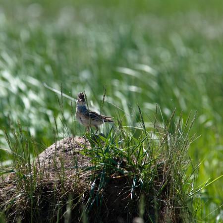 arvensis: Alauda arvensis. The Skylark in a natural habitat. Wildlife Photography.