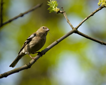 chaffinch: The Common Chaffinch (Fringilla coelebs) is in the wild nature.