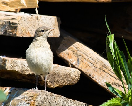 Wheatear, Oenanthe oenanthe.  A newly fledged chick (fledgeling) in the nature. photo