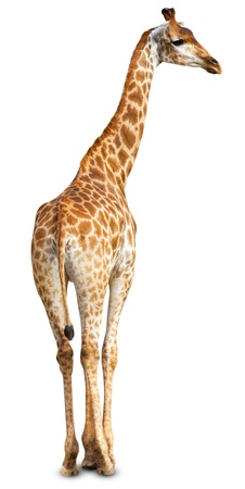 jirafa fondo blanco: Jirafa (Giraffa cameleopardalis) sobre un fondo blanco.