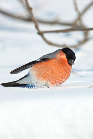 The Bullfinch (Pyrrhula pyrrhula) in the winter. Beautiful bird in the wild nature. Stock Photo - 8836108