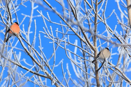 The Bullfinch (Pyrrhula pyrrhula) in the winter. Beautiful bird in the wild nature. photo