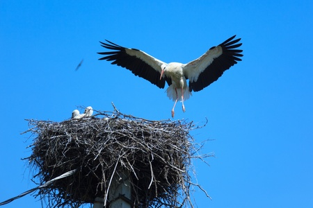 birdnest: Wild bird in a natural habitat. Wildlife Photography. Ciconia ciconia, Oriental White Stork. Simankovo. Moscow region, Shahovsky area. Russia