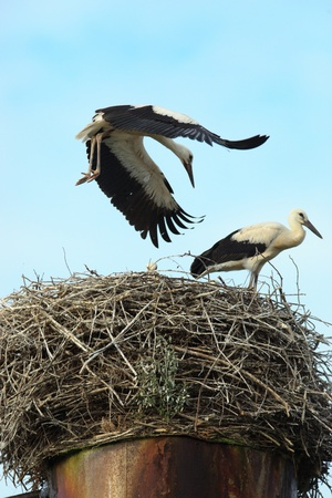 birdnest: Wild bird in a natural habitat. Wildlife Photography. Ciconia ciconia, Oriental White Stork. Ursovo. Moscow region, Shahovsky area. Russia