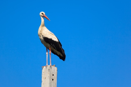 ciconiiformes: Wild bird in a natural habitat. Wildlife Photography. Ciconia ciconia, Oriental White Stork. Simankovo. Moscow region, Shahovsky area. Russia