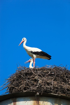 ciconiiformes: Wild bird in a natural habitat. Wildlife Photography. Ciconia ciconia, Oriental White Stork. Holmets. Moscow region, Shahovsky area. Russia