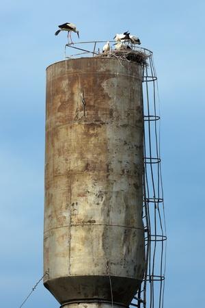 ciconiiformes: Wild bird in a natural habitat. Wildlife Photography. Ciconia ciconia, Oriental White Stork. Ushakovo. Moscow region, Shahovsky area. Russia Stock Photo
