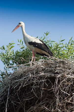 birdnest: Wild bird in a natural habitat. Wildlife Photography. Ciconia ciconia, Oriental White Stork. Vysochki. Moscow region, Shahovsky area. Russia