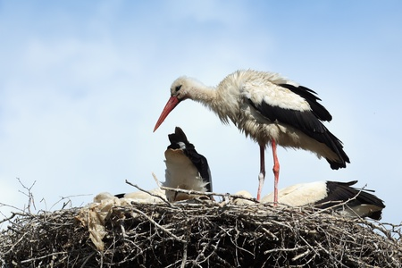ciconiiformes: Wild bird in a natural habitat. Wildlife Photography. Ciconia ciconia, Oriental White Stork.