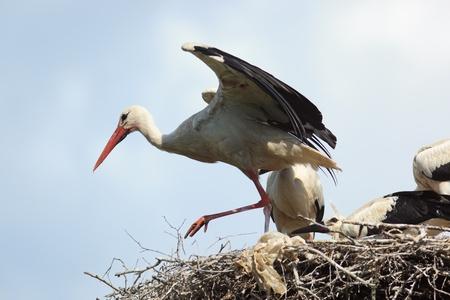 Wild bird in a natural habitat. Wildlife Photography. Ciconia ciconia, Oriental White Stork. photo
