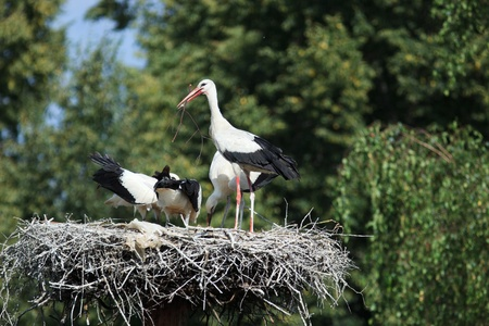 Wild bird in a natural habitat. Wildlife Photography. Ciconia ciconia, Oriental White Stork. Stock Photo - 11269389