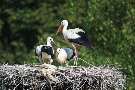 Wild bird in a natural habitat. Wildlife Photography. Ciconia ciconia, Oriental White Stork. photo