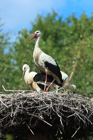 ciconiiformes: Wild bird in a natural habitat. Wildlife Photography. Ciconia ciconia, Oriental White Stork.