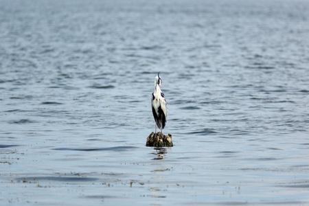 ardeidae: Ardea cinerea, Grey Heron. Wild bird in a natural habitat. Wildlife Photography. Russia.