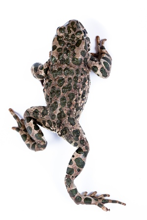 Common toad,  European toad, (Bufo bufo, Bufo vulgaris, Bufo cinereus). Toad in studio against a white background. Stock Photo - 11590384