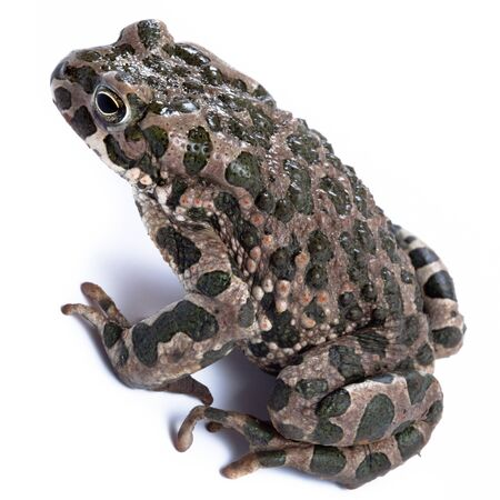 anuran: Common toad,  European toad, (Bufo bufo, Bufo vulgaris, Bufo cinereus). Toad in studio against a white background.