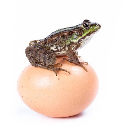 frog egg: Marsh Frog (Rana ridibunda) in front of white background, isolated.