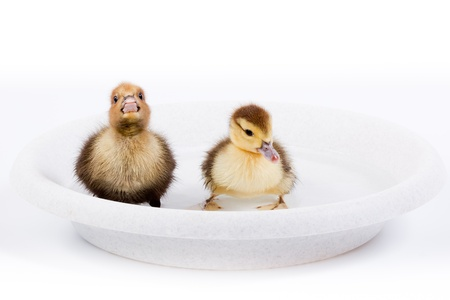 Duckling in front of white background, isolated. The photo is made in studio. photo