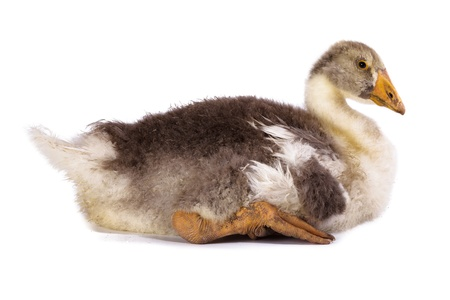 slovenly: Gosling in front of white background, isolated. Denisovo. Ryazan region, Pronsky area. Russia. Stock Photo