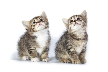 laughable: Kittens in studio against a white background.