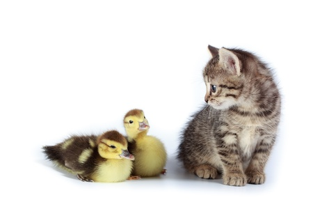 the descendant: Kitten and ducklings in studio against a white background.