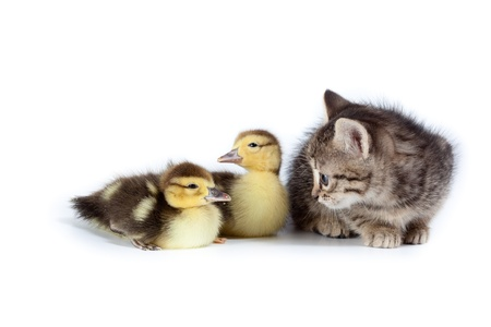 Kitten and ducklings in studio against a white background. photo