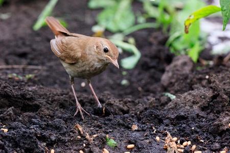 usignolo: Luscinia Luscinia, Nightingale Thrush