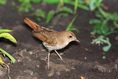 bird nightingale: Wild bird on a ground  Wildlife Photography   Luscinia luscinia, Thrush Nightingale