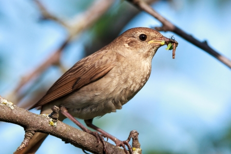 Luscinia luscinia  The Thrush Nightingale perching on a branch of the tree