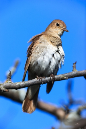 turdidae: Luscinia luscinia  The Thrush Nightingale perching on a branch of the tree