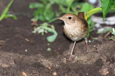 bird nightingale: Wild bird on a ground. Wildlife Photography.  Luscinia luscinia, Thrush Nightingale. Stock Photo