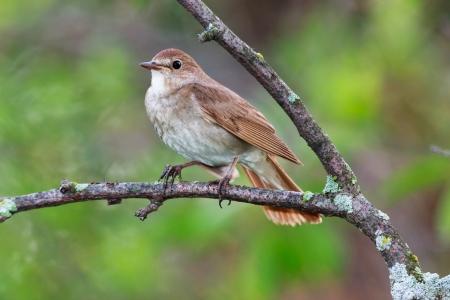 turdidae: Luscinia luscinia. The Thrush Nightingale perching on a branch of the tree.