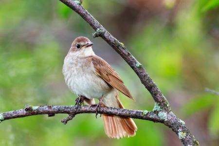 rossignol: Luscinia luscinia. The Nightingale Thrush perch� sur une branche de l'arbre. Banque d'images