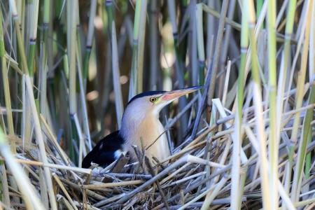 bittern: The bird incubates its eggs in a nest   Ixobrychus minutus, Little Bittern  male