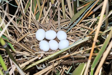ciconiiformes: Nest of a bird with eggs in the nature  Ixobrychus minutus, Little Bittern  Stock Photo
