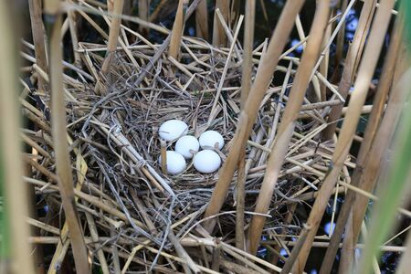bittern: Nest of a bird with eggs in the nature  Ixobrychus minutus, Little Bittern  Stock Photo