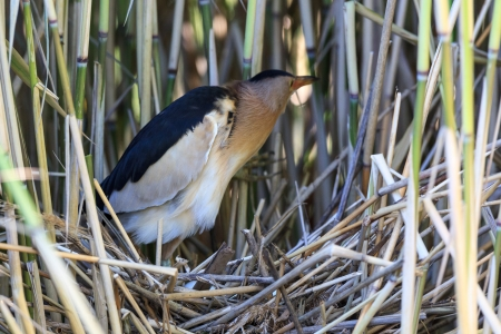 ardeidae: The bird incubates its eggs in a nest   Ixobrychus minutus, Little Bittern  male