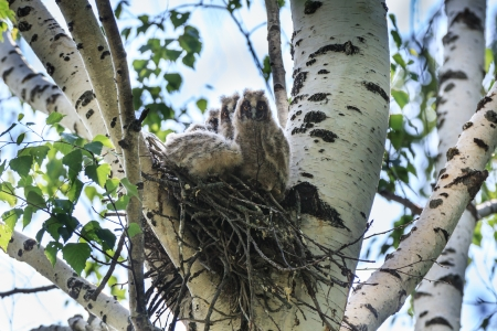 strigiformes: Asio otus, Long-eared Owl   Nest of a bird with baby birds in the nature  Stock Photo