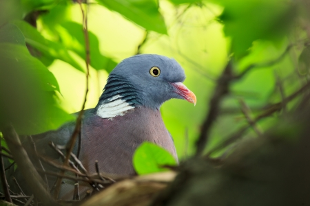 Columba palumbus, Woodpigeon  Bird warms its chicks in the nest  photo