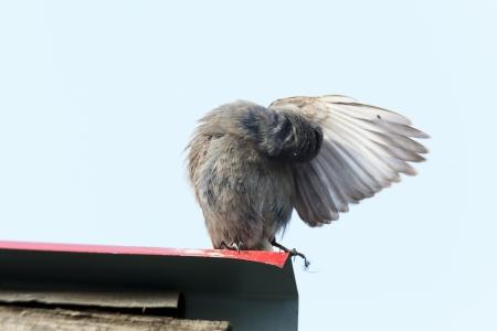 preens: Bird preens itself feathers   Phoenicurus ochruros gibraltariensis, Black Redstart  female Stock Photo