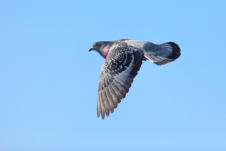 Columba livia, Rock Dove  A bird in flight  photo
