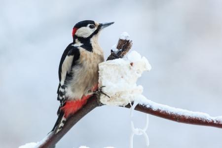 dendrocopos: Dendrocopos major, Great spotted woodpecker  Stock Photo