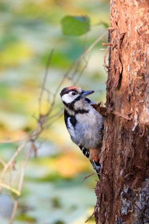 dendrocopos: Dendrocopos major, Great spotted woodpecker  The young bird in nature  Stock Photo