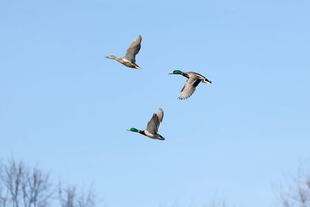 Anas platyrhynchos, Mallard. Wild bird in a natural habitat. Wildlife Photography. Stock Photo - 17301287